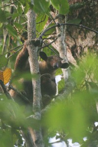 Arboreal anteater, Brazilian Amazon