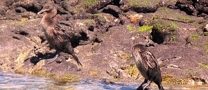 Flightless Cormorants on the Island of Fernandina