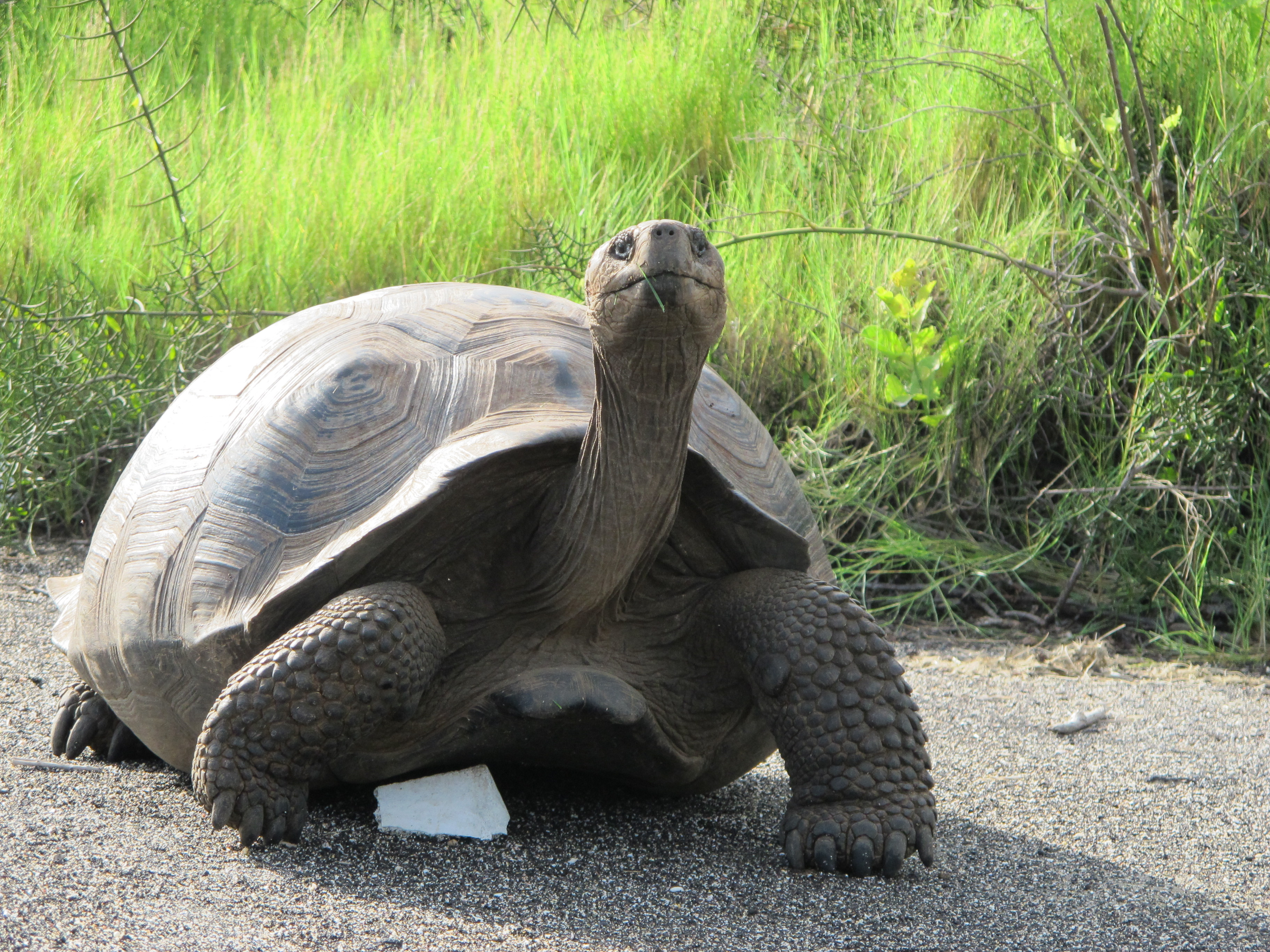 A Galapagos Giant Tortoise 'striking a pose' at Urbina Bay