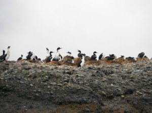 Imperial Cormorants