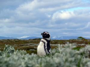 Magellanic Penguin, Chilean Patagonia
