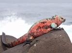 Marine-Iguana-Espanola