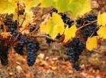 Chilean wine grapes