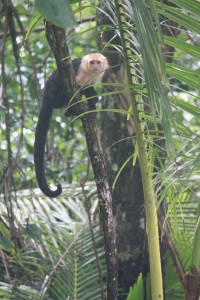 Monkey, Osa Peninsula, Costa Rica