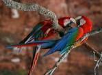 Red macaws at Buraco das Araras