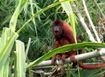 amazon-monkey