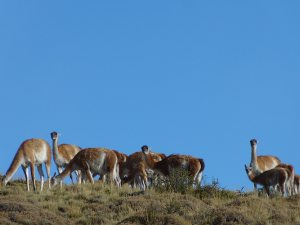 chile-guanacos
