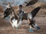 galapagos-birds-bluefooted