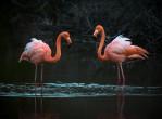 galapagos-flamingos
