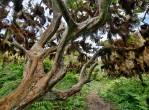 galapagos-tree