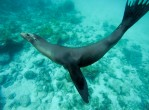 galapagos-underwater-seal