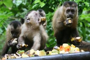 goiania monkey1