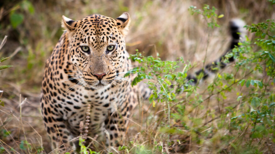 A male leopard marking his territory in the Okavango Delta, Botswana.
