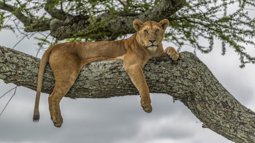 An alert lioness on a large branch in an acacia tree in Serengeti National Park, Tanzania. She is looking for prey, after the long rains. Panthera Leo.