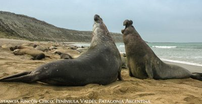 Estancia Rincon Chico_elephant seals
