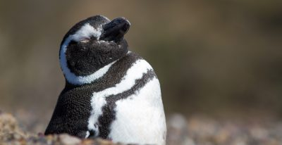 Magellan Penguin in Sun