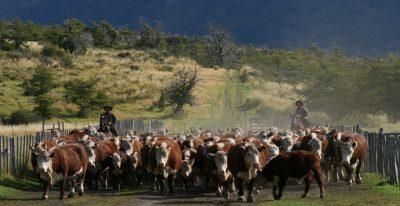 Nibepo Aike_herding cattle
