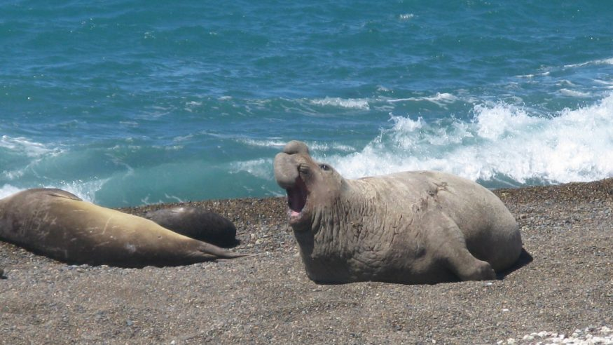 Peninsula Valdez - Elephant Seal