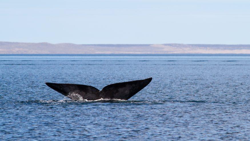 Argentine Wildlife - Whale