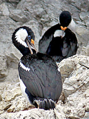 Blue Eyed Shag - galapagos islands cruises - vaya adventures