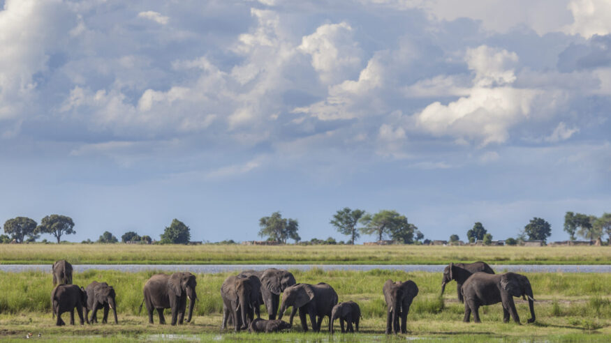 Cumulonimbus storm clouds building up behind a group of African Elephants who are drinking and bathing in marshy ground during the rainy season in Chobe National Park, northern Botswana, southern Africa.