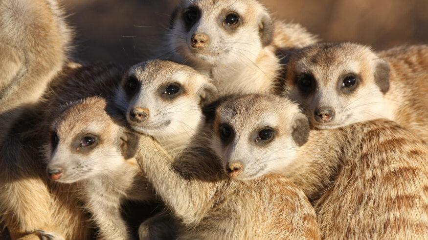 close-up of a group of meerkats (suricates) at late afternoon in the Kalahari, Namibia