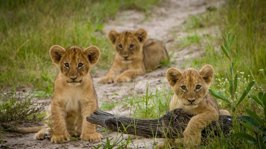 Three lions cubs at play, Okavango Delta