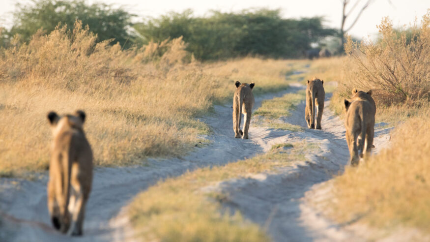 Pride of lions making their way to the waterhole. They must have sensed that the pride were about to stumble upon the fresh carcass of a massive elephant bull!  Photographed him in Savuti. They are part of the elephant eating marsh pride that were featured in the BBC documentary called