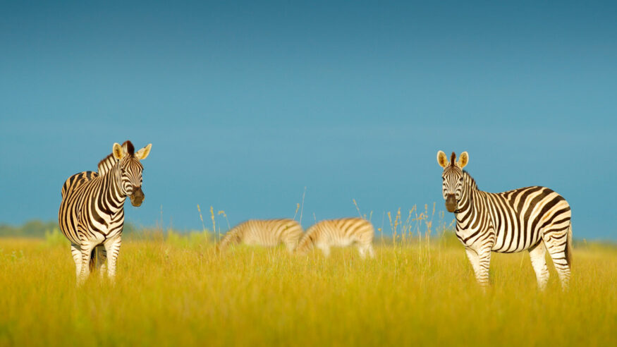 Zebra with blue storm sky. Burchell's zebra, Equus quagga burchellii, Nxai Pan National Park, Botswana, Africa. Wild animal on the green meadow. Wildlife nature.