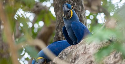 Araras Lodge_Hyacinth Macaws
