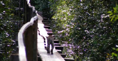 Araras Lodge_ocelot on wooden walk