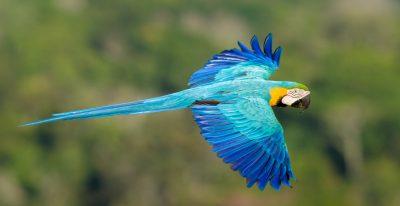 Cristalino Jungle Lodge_blue and gold macaw