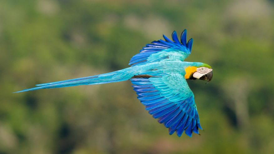 Cristalino Jungle Lodge_blue and gold macaw