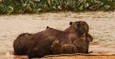 Jacare Boat Hotel_capybaras