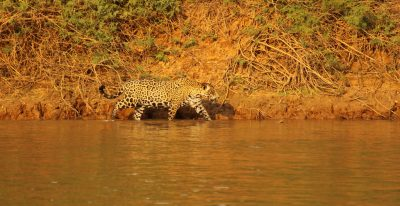 Jacare Boat Hotel_jaguar in the river