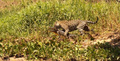 Jaguar House Boat_jaguar hunting a caiman