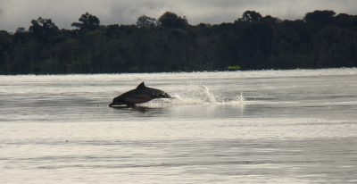 Uakari Lodge_dolphin (photo credit Pedro Nassar)