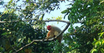 Uakari Lodge_monkey (photo credit Pedro Nassar)