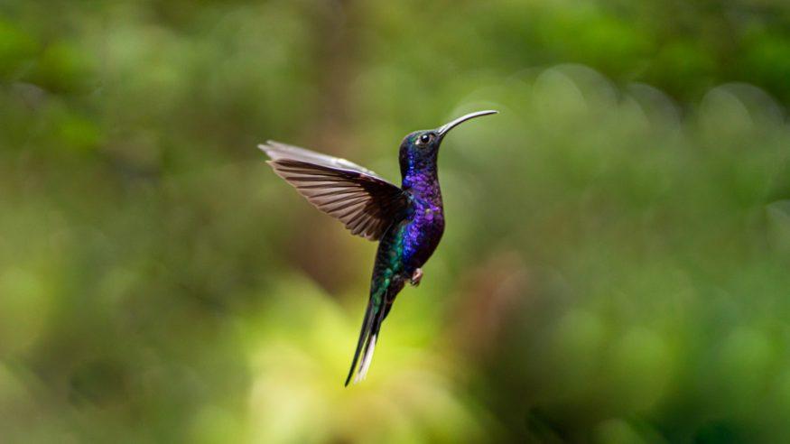 Costa Rica - Hummingbird