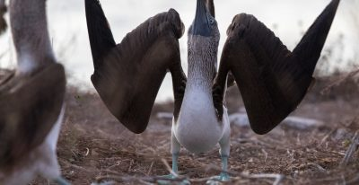 Galapagos Wildlife - Blue Footed Booby