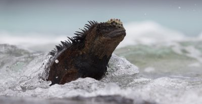 Marine Iguana emerging from water