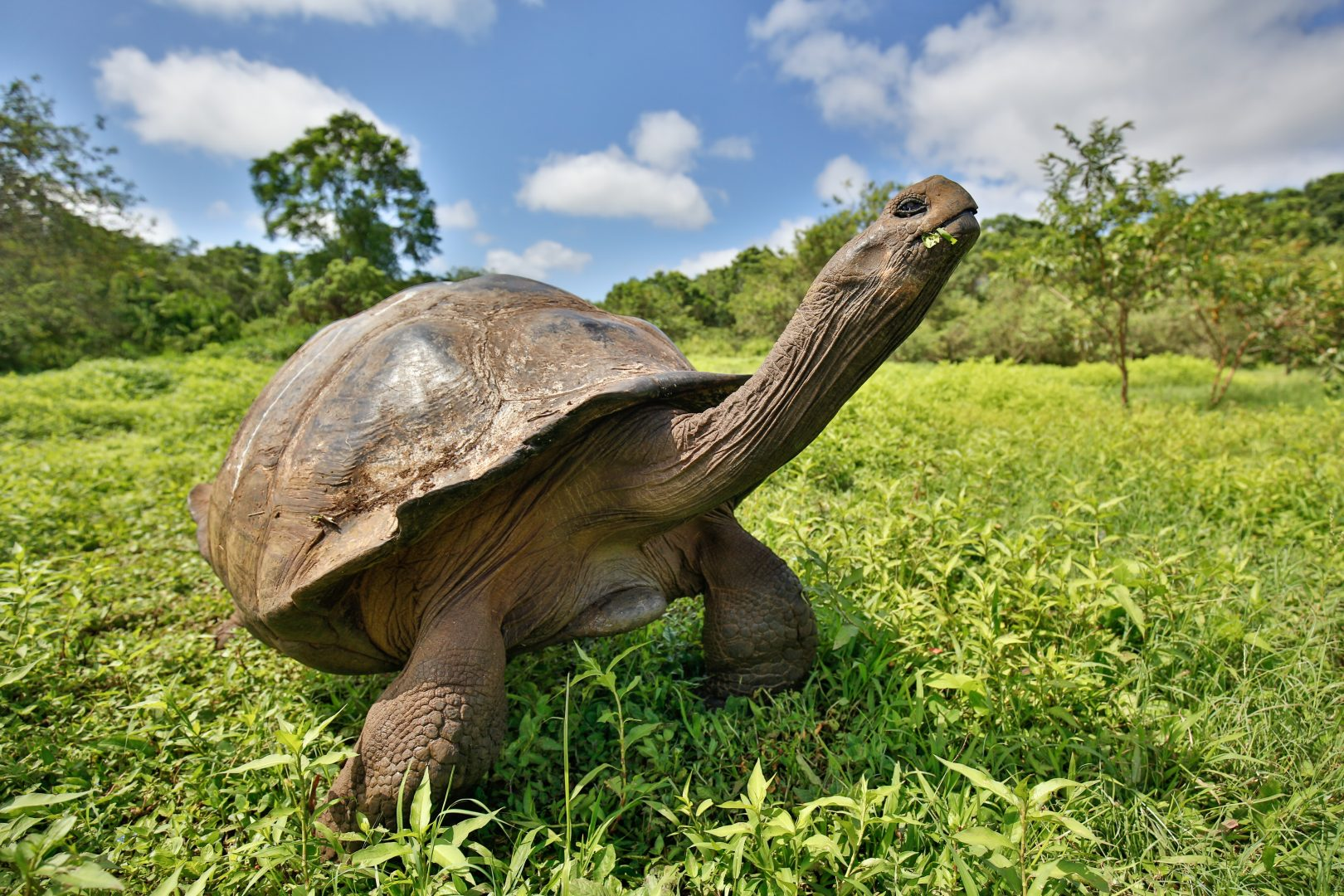 Galapagos tortoise enjoying some grass