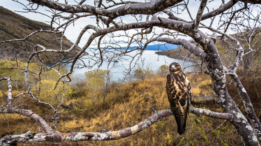 Galapagos hawk_Photo by Max Aliaga