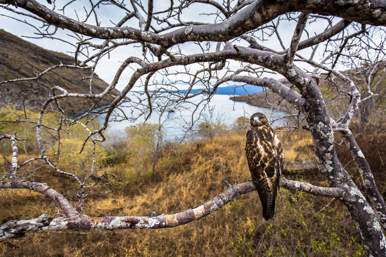 Galapagos hawk_Photo by Max Aliaga