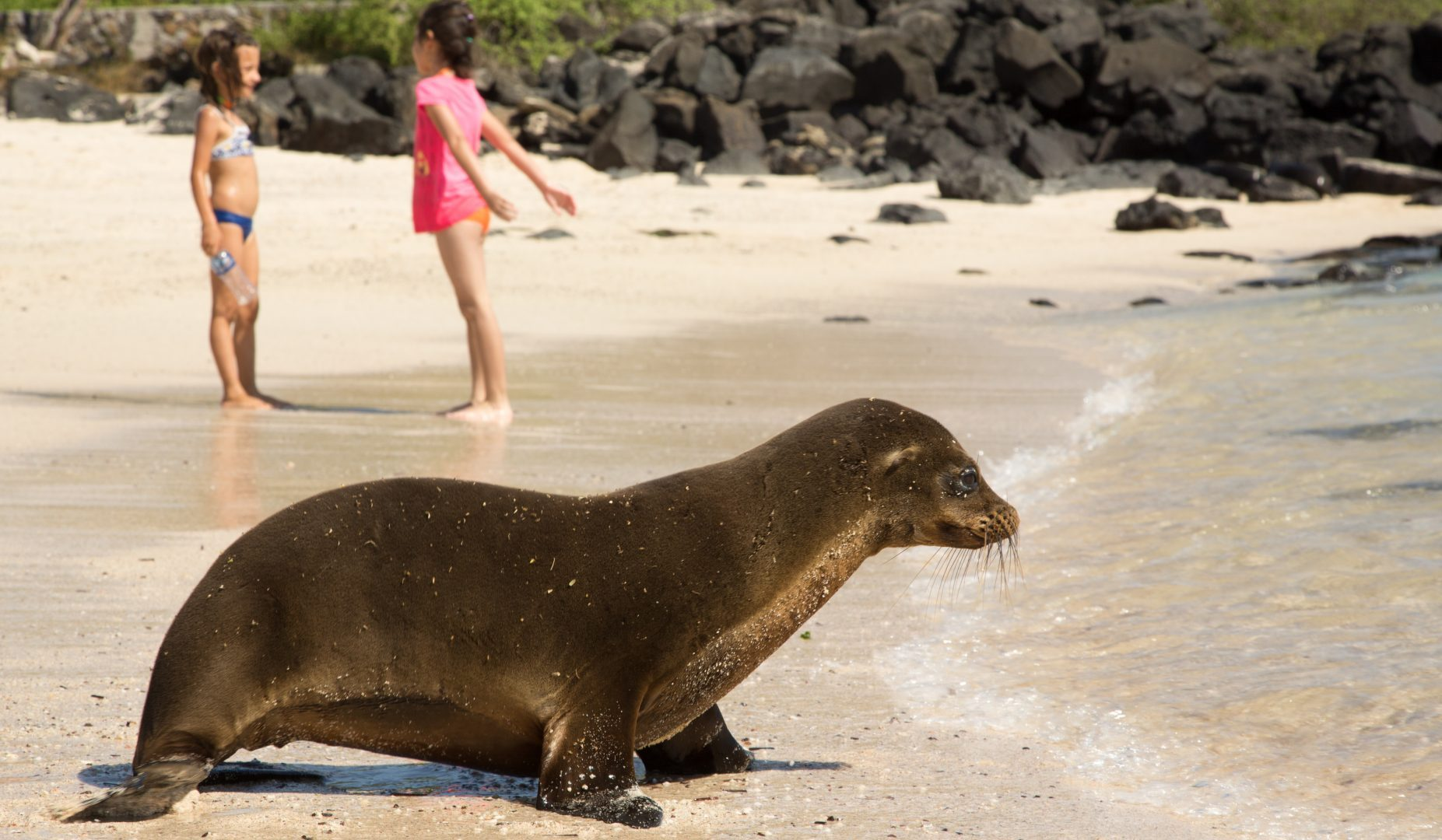 Galapagos sea lion with child