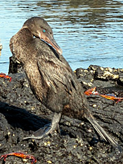 Flightless Cormorant - galapagos islands tours - vaya adventures