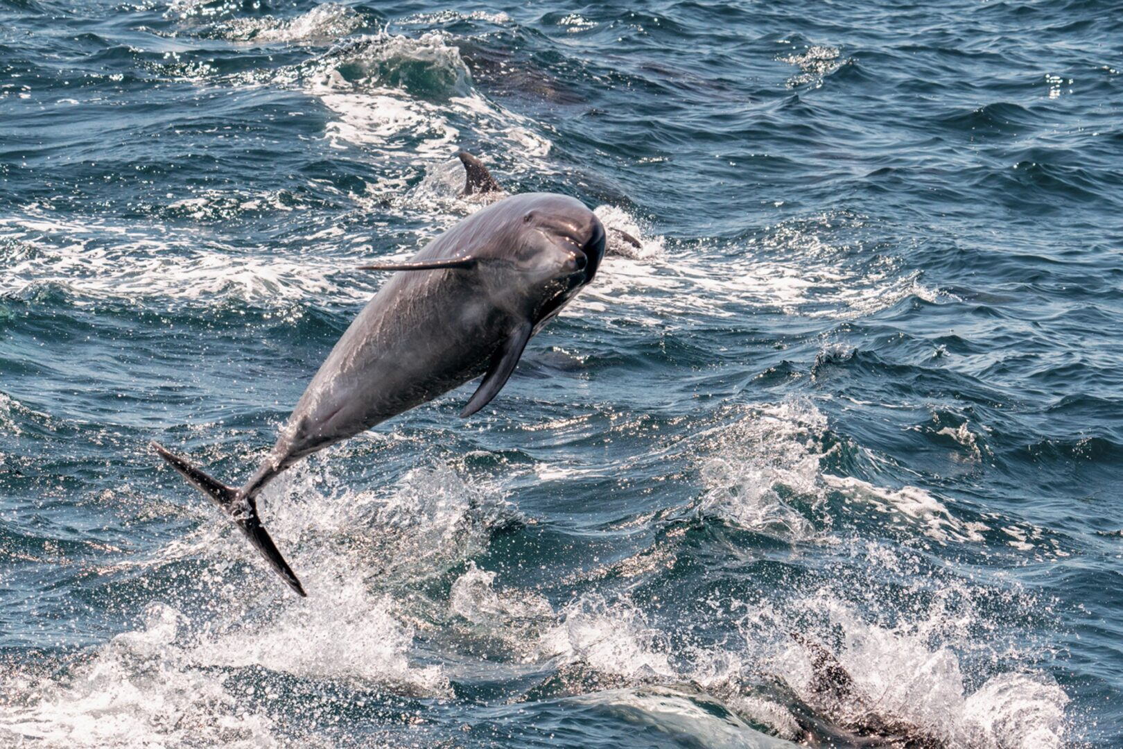 Dolphin in the Galapagos