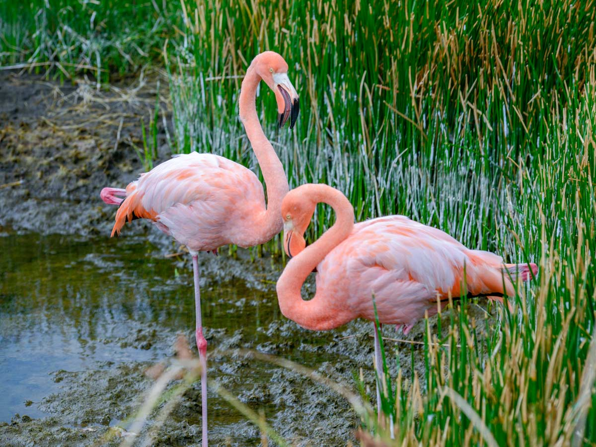 Flamingos in the Galapagos Islands