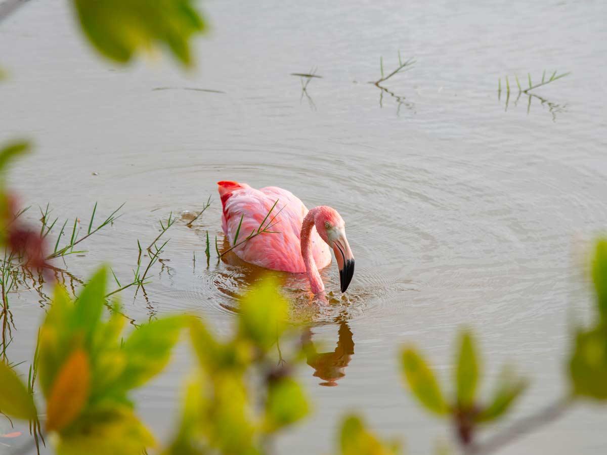 Pink Galapagos flamingo