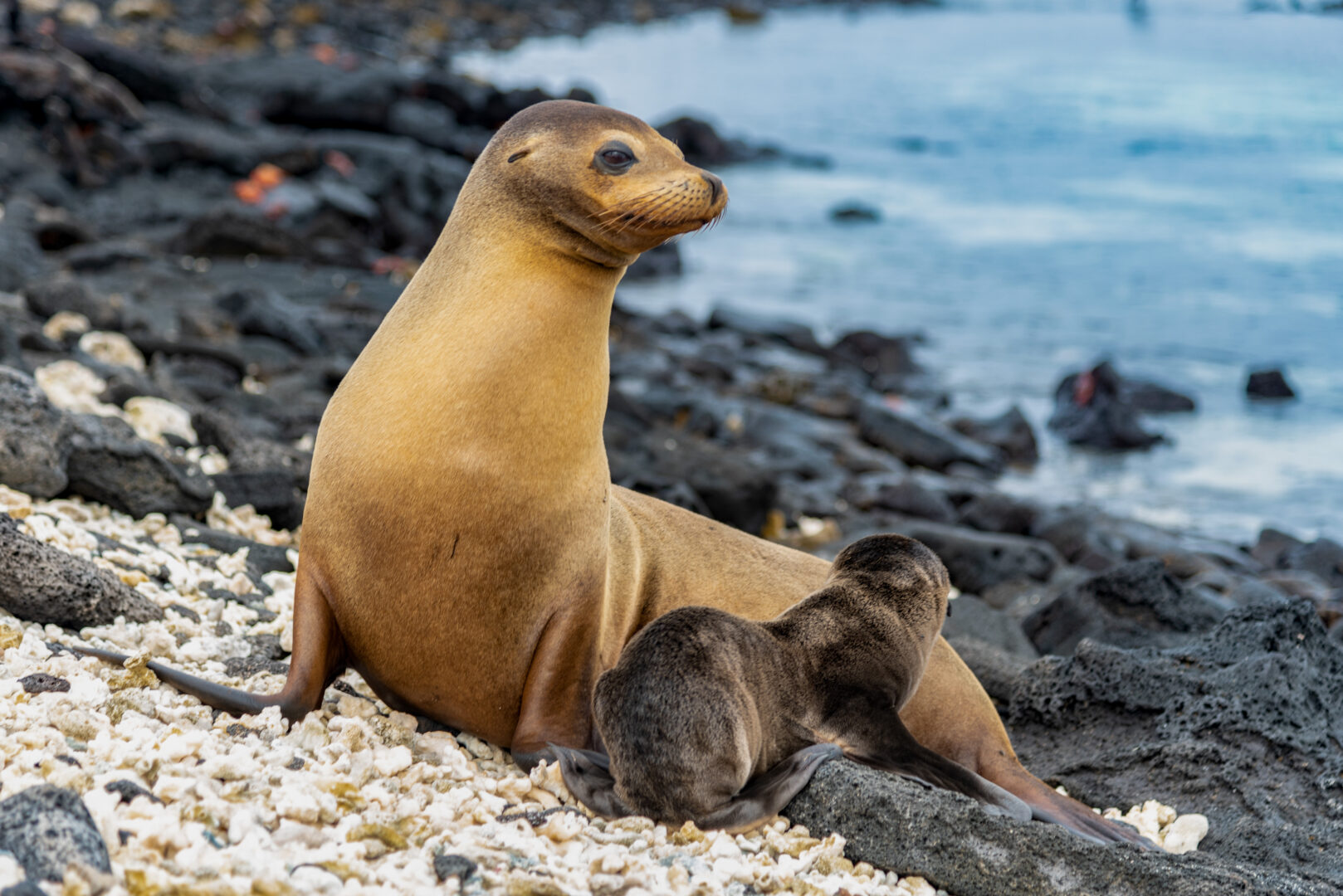 Mother and baby sea lion in the Galapagos Islands